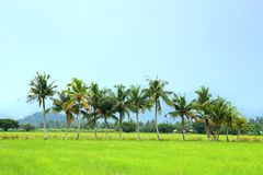 Coconut Trees and Paddy Field Royalty Free Stock Photo