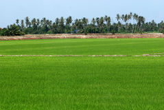 Coconut trees and paddy field. In the countryside royalty free stock photo