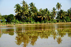 Coconut trees and paddy field. At the countryside stock image