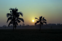 Coconut trees and paddy fields in silhouette. Stock Photo