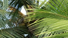 Coconut trees and palm leaves Waving. Branches of coconut trees waving slowly in the wind stock video