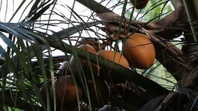 Coconut trees and palm leaves Waving. Branches of coconut trees waving slowly in the wind stock video footage