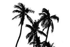 Coconut trees (palm) silhouette Royalty Free Stock Photography