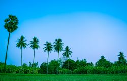 Palm sugar tree and coconut tree growing up in the countryside of Thailand, organic plants, local farming, slowlife concept. Coconut trees and palm sugar tree royalty free stock photography