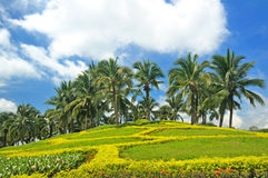 Coconut trees in the park. Royalty Free Stock Photography