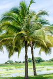 Coconut trees in the park. Stock Images