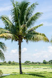 Coconut trees in the park. Stock Photo