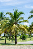 Coconut trees in the park. Stock Image