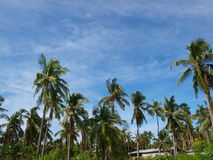 Coconut trees in Philippines. Coconut tree against the blue sky background in Philippine island-Malapascua Royalty Free Stock Images