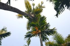 Coconut trees. Stock Photography