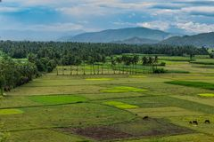 Coconut trees plantation at greenery field with mountain white cloud sky background. This image have taken from a hills of coconut tree plantation. Some animal stock image