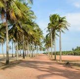 Coconut trees plantation Royalty Free Stock Photography