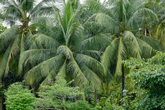 Coconut trees planted at Botanic Gardens in Singapore Stock Images