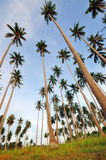 Coconut Trees point of view. Coconut trees pointing up to the sky royalty free stock image