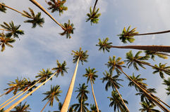 Coconut Trees Pointing up to the sky. A composition of coconut trees pointing up to the sky royalty free stock image