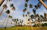Coconut Trees Pointing up to the sky. Coconut Trees in the island of borneo royalty free stock photos