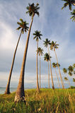 Coconut Trees Pointing up to the sky. Coconut Trees in the island of borneo royalty free stock photo