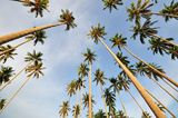 Coconut Trees Pointing up to the sky Royalty Free Stock Photos