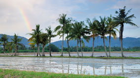 Coconut trees reflected in paddy field Stock Photos