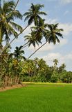 Coconut trees and Rice fields Stock Image