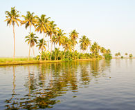 Coconut trees in a row. Green coconut trees planted in a row , along the bank of the back waters Stock Images