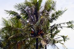 The Coconut Trees. In rural area Stock Photos