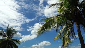 Coconut trees. A 37-second full HD footage of coconut palm trees swaying in the summer wind with the blue skies and moving clouds in the background stock video footage