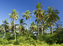 Coconut trees, Sematan Beach. Coconut trees under the blue sky in Sematan Beach, Sarawak, Malaysia Royalty Free Stock Photo