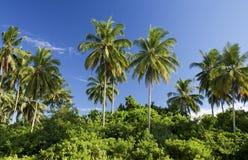 Coconut trees, Sematan Beach. Coconut trees under the blue sky in Sematan Beach, Sarawak, Malaysia Stock Images