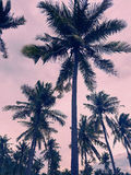 Coconut trees silhouette in the sunset Royalty Free Stock Photo