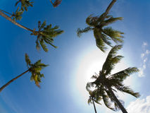 Coconut trees in the sky. A fisheye skyview with coconut trees Royalty Free Stock Photo