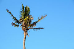 Coconut trees. And sky close up Royalty Free Stock Images