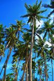 Coconut trees royalty free stock photography