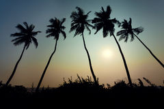 Coconut trees sunset Stock Photography