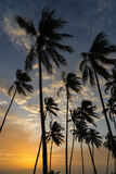 Coconut trees at sunset Stock Photos