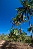Coconut trees swaying against blue skies Stock Photography