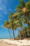 Coconut trees swaying by the breeze along a sandy Stock Image