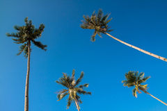 Coconut Trees. The coconut tree (Cocos nucifera) is a member of the family Arecaceae (palm family).The term coconut can refer to the entire coconut palm, the Stock Image