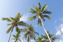 Coconut Trees Under Blue Sky Royalty Free Stock Images