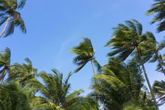 Coconut trees under brilliant sunlight.  Stock Photography