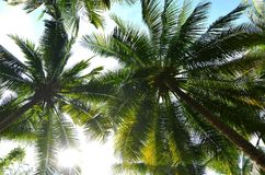 The coconut trees under sunshine day. With blue sky in the background Royalty Free Stock Photos