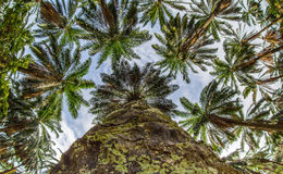 Coconut Trees VI Stock Images