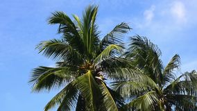 Coconut trees with the wind blows all the time. No Sound. stock footage