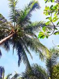 Coconut tree sunlight in the day royalty free stock image