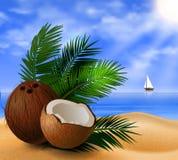 Coconut tropical nut fruit Stock Image