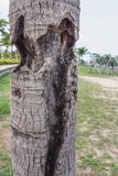 Coconut trunks Royalty Free Stock Images
