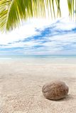 Coconut under palm trees on a lonely beach Stock Image