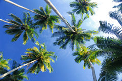 Coconut up angle. A view of coconut trees when looking up to a sky Stock Photo