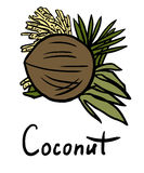 Coconut. Vector illustration of the coconut with flower and leaves vector illustration