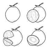 Coconut. Vector Illustration Hand Drawn Fruit Cartoon Art Royalty Free Stock Images